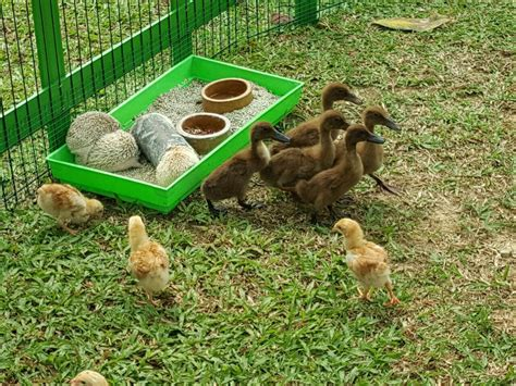 petting zoo ducks party chickens birthday duck planner package kl malaysia fabulous event services baby rabbits hamsters porcupines