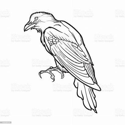 Line Drawing Raven Sitting Halloween Accurate Illustration