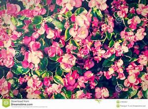 Mur De Fleurs : mur rose de fleurs lumi re de style de vintage photographie stock libre de droits image ~ Farleysfitness.com Idées de Décoration