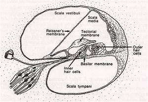 The Inner Ear  Cochlea  Is Where Transduction Takes Place