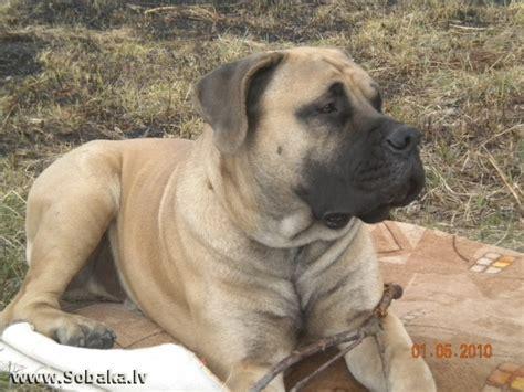 Dienvidāfrikas burbuls Bur Haus Ajkon - Fotogrāfijas - LAT ...