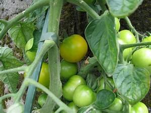 Zimmerpflanzen Alte Sorten : blondk pfchen gold gelbe tomate sehr ertragreich ~ Michelbontemps.com Haus und Dekorationen
