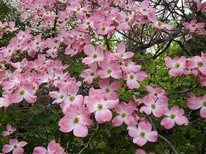 Cornus Florida Rubra : flowering dogwood cornus florida f rubra garden plants pinterest flowering trees ~ Frokenaadalensverden.com Haus und Dekorationen