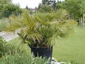 Heidekraut Winterhart Kaufen : chamaerops humilis europ ische zwergpalme 130cm palmen ~ Lizthompson.info Haus und Dekorationen