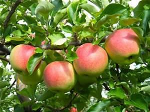 Wann Apfelbaum Pflanzen : elstar apfel apfelbaum standort pflanzen pflege und ~ Lizthompson.info Haus und Dekorationen