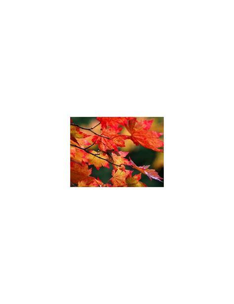 acero giapponese in vaso acero giapponese quot vitifolium quot vendita piante on line