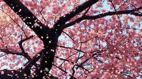cherry blossom tree l uploaded by user