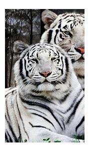 White Tiger Pair Desktop Backgrounds Computer ...