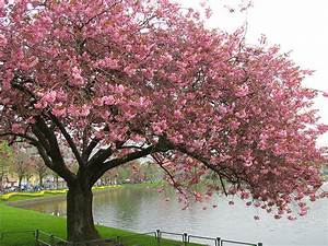 Trees images Cherry Blossom Tree wallpaper and background