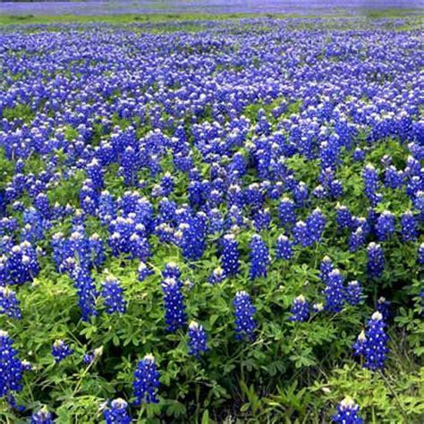 what is a bluebonnet texas state flower bluebonnet