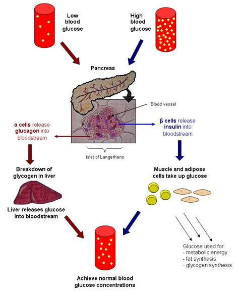 control  blood glucose content biology notes