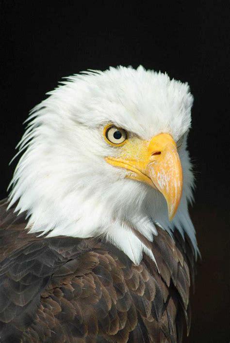 poster von tiere bald eagle adler vogel guenstig ab