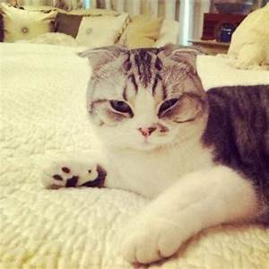 Cats, Bobs and Scottish fold on Pinterest