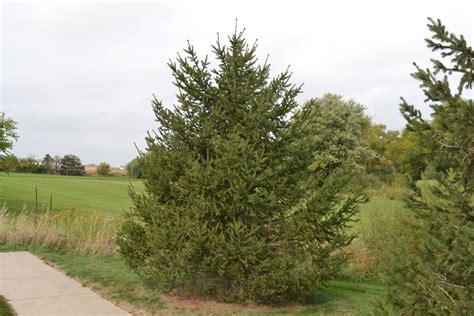 fast growing evergreen trees norway spruce a fast growing evergreen tree