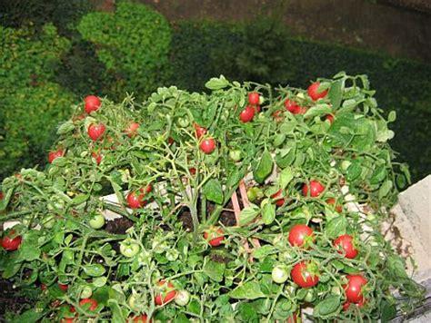 Tomaten Im Blumenkasten by Reiche Tomatenernte Con Cuore