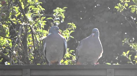 Pigeons Having Sex Youtube