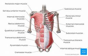 Anterior Abdominal Muscles  Anatomy And Functions