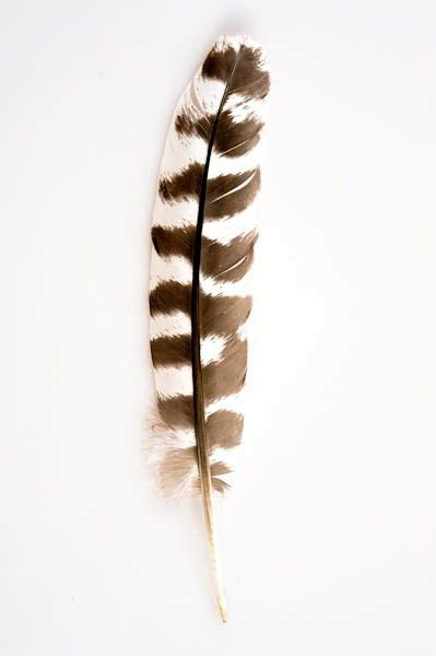 plume daigle imitation   cm tigre aigle royal