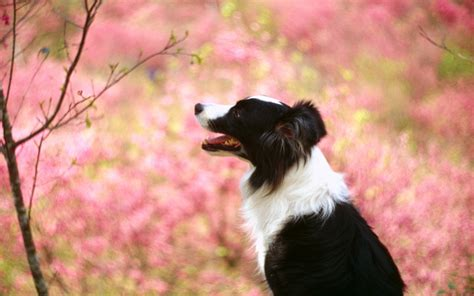 Animal Border Wallpaper - border collie wallpaper 183