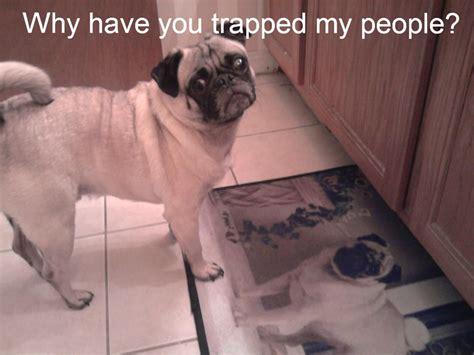 Funny Pug Memes - funny pug dog memes funny pug dog memes captions lol pinterest