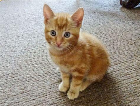 Adorable Ginger Kitten Matlock Derbyshire Pets4homes