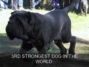 TOP 5 STRONGEST DOGS IN THE WORLD. - YouTube