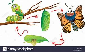 Butterfly Life Cycle Diagram Illustration Stock Vector Art