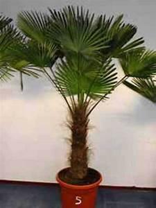 Palmen Kaufen Baumarkt : trachycarpus wagnerianus wagners hanfpalme g nstig kaufen ~ Orissabook.com Haus und Dekorationen
