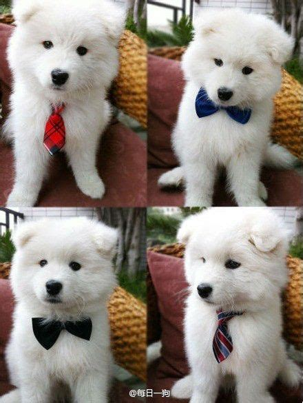 Cute Puppies Samoyed Dog