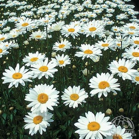 splitting shasta daisies 17 best images about everblooming plants on pinterest sun summer and spring