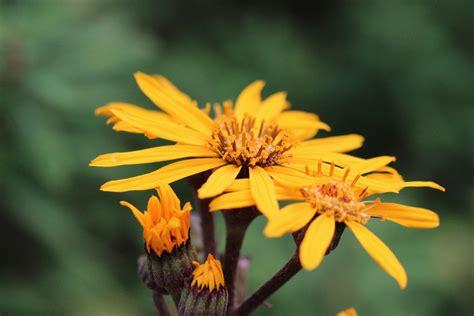 bildet natur anlegg blomst petal var gul lukk