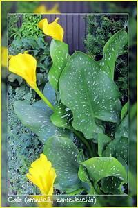 Calla Pflanze Giftig : aronskelk calla zantedeschia ~ Frokenaadalensverden.com Haus und Dekorationen