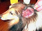 Image result for Pet With Ear Mites