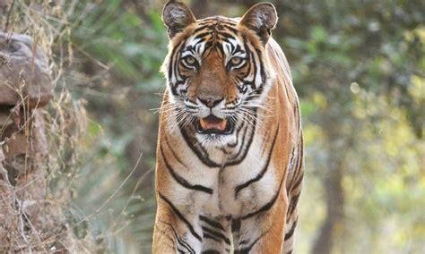 Tiger Photo stories wwf