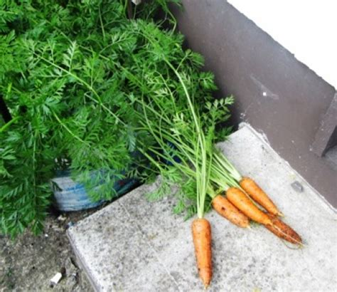 How To Grow Carrots In Containers Dengarden