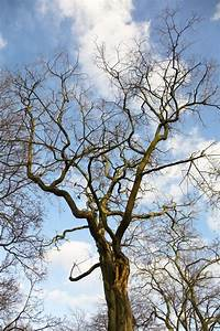 Baum Mit Blüten : der gro e fr hling baum ohne bl tter mit bl ten und nieren auf einem hintergrund von den blauen ~ Frokenaadalensverden.com Haus und Dekorationen