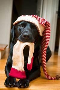 Cutest Christmas Pet Photo Session Idea | Dog | Lab ...