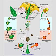 Flowering Plants Life Cycle & Examples Studycom