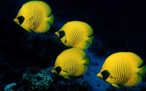Marine Animal Wallpaper - marine fish wallpaper seabed reef marine fish