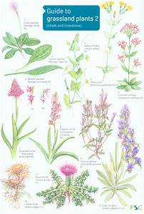 Guide To Grassland Plants 2  Chalk And Limestone   Anne Ld