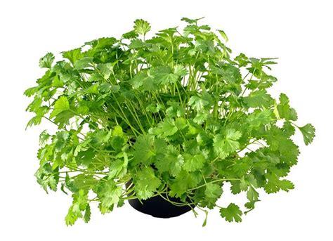 growing cilantro the beginner herb garden how to grow cilantro