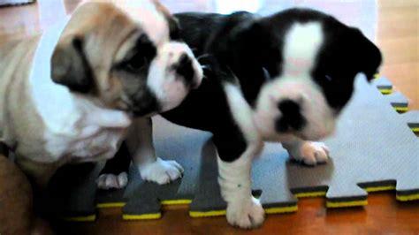 week  boston bulldogs boston terrier  english