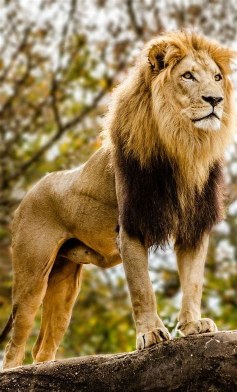 lion japari library  kemono friends wiki