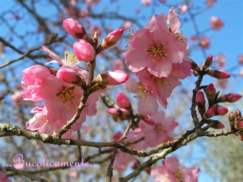mandorlo da fiore bucolicamente alberi da frutto il mandorlo