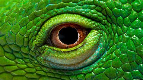 eye  green iguana wallpaper hd wallpaperscom