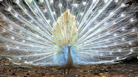 美丽白孔雀开屏图片