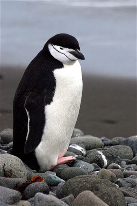 chinstrap penguin facts  kids   chinstrap