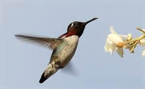 The World's Smallest Bird Bee Hummingbird