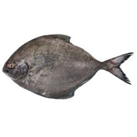 pomfret fish  mumbai maharashtra pomfret balamash