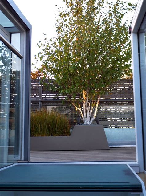 himalayan silver birch multi stemmed   container